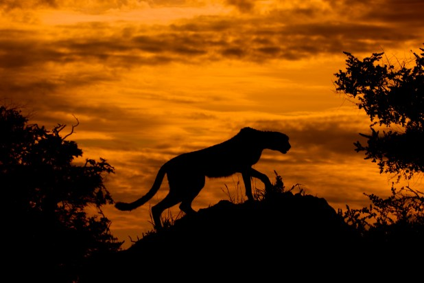 Cheetah_at_Sunset (1).jpg