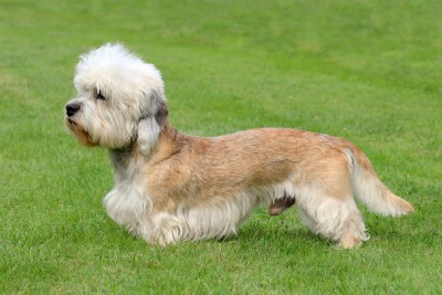 Breeders: Dandie Dinmont Terrier