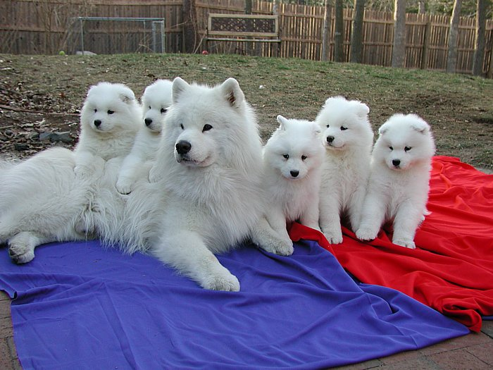 Breeders: Samoyed