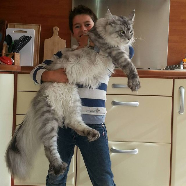 Breeders: Maine Coon