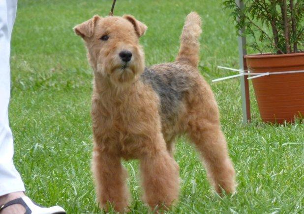 Lakeland Terrier-4.jpg-0.jpg