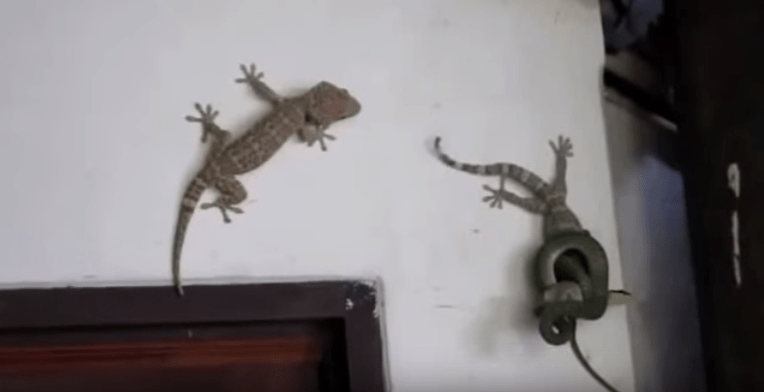 Huge Gecko saves his friend from a snake!