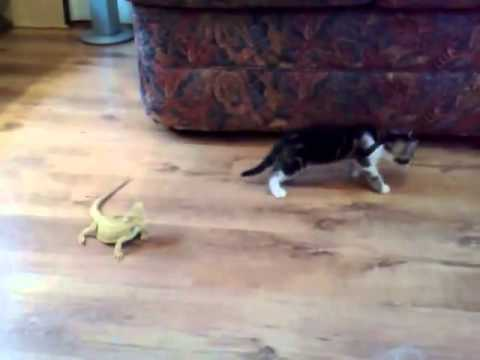 Who will emerge victorious in this cat vs lizard encounter?