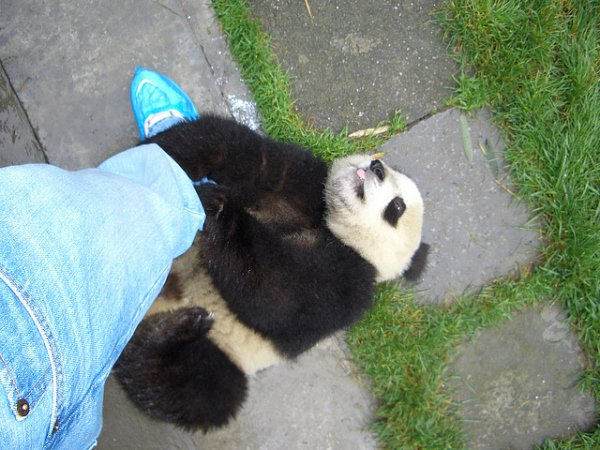 Pandas are addicted to hugs!