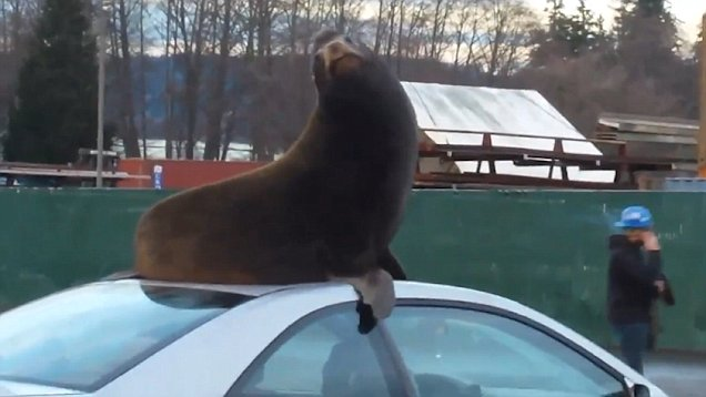 Sea Lion Chills On The Roof Of A Car