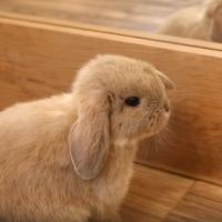 Marshmallow The Adorable Holland Lop Bunny