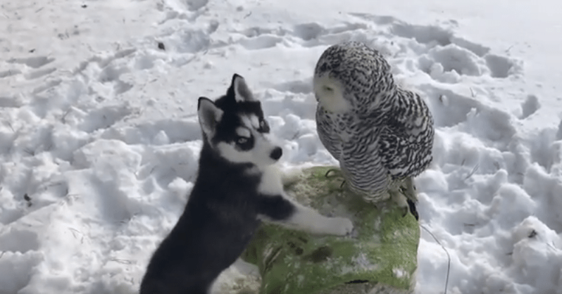 Unbelievable Kissing Between Husky Puppy And Owl