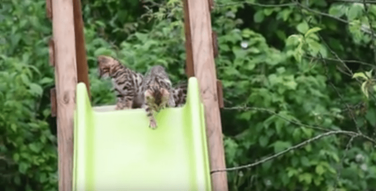 Bengal Kittens Discover A Slide For The First Time