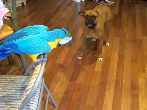 Macaw Tells Boxer 'Don't Bite'