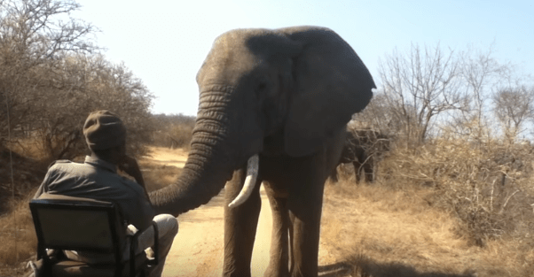 Safari Guide Has Close Encounter With An Elephant