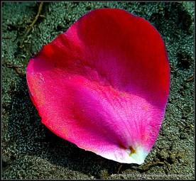 Petal of Rose