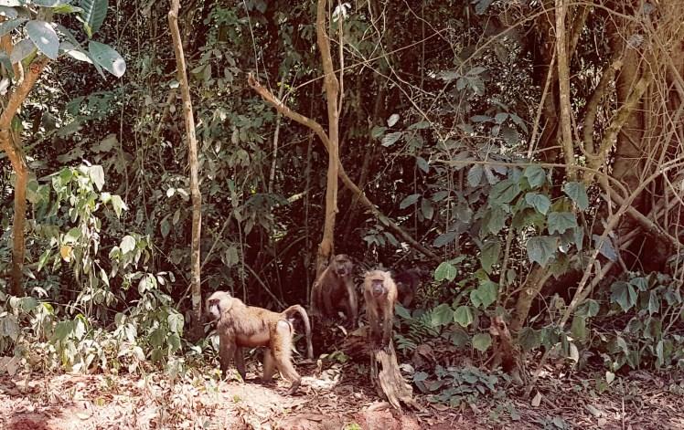 Bavianen in het regenwoud in Oeganda