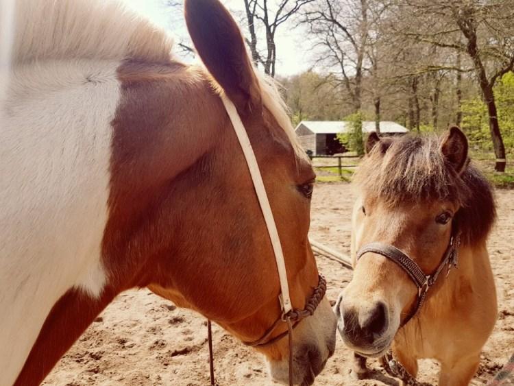Bont paard en IJslander kennismaking