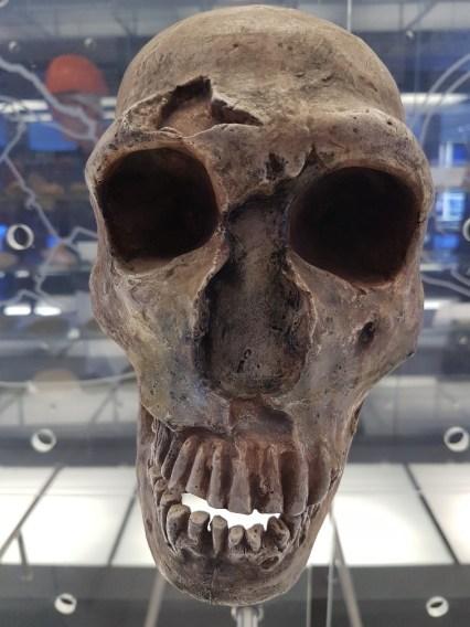 Cradle of humankind schedel Zuid Afrika