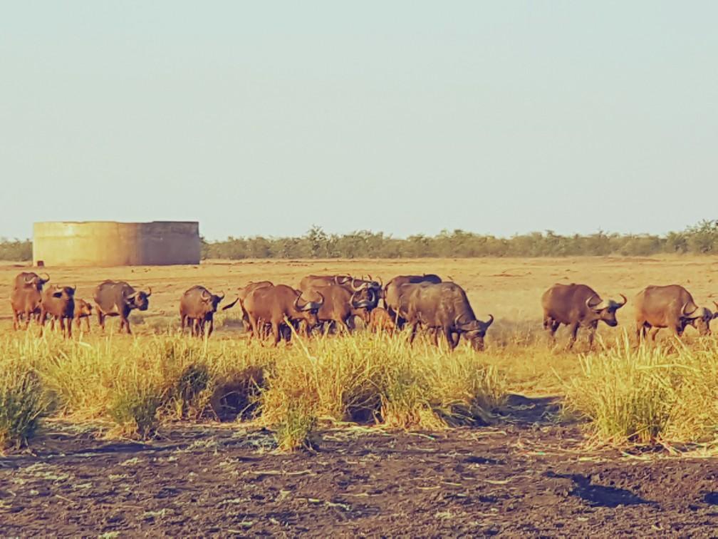 Buffels bij een waterplas Zuid Afrika