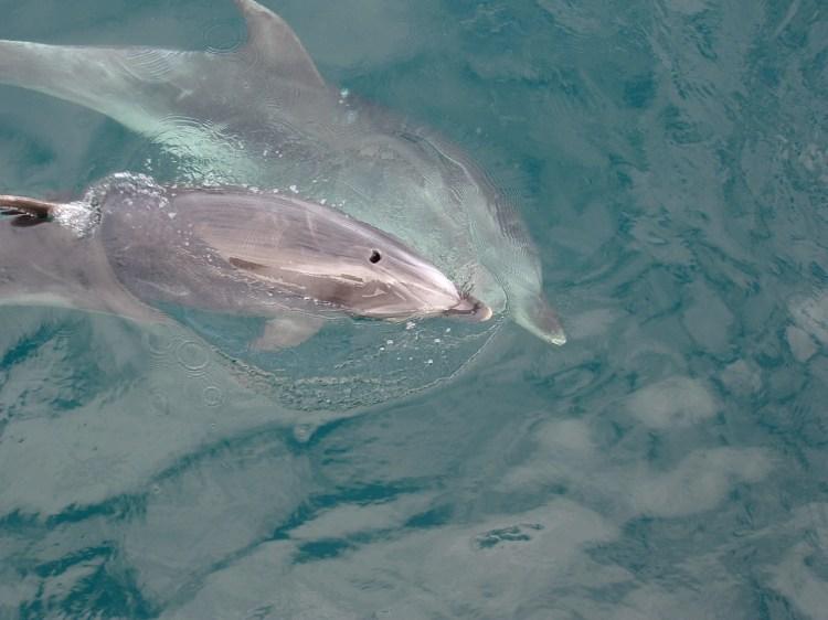 Bottlenose Dolphin Nieuw Zeeland Bay of Islands