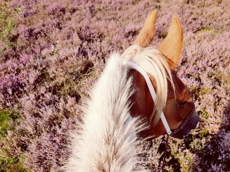 Heide in bloei te paard