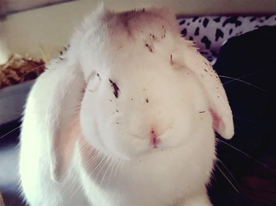 vies wit konijn
