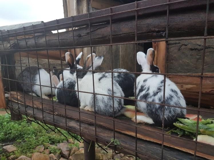 Afrikaanse konijnen
