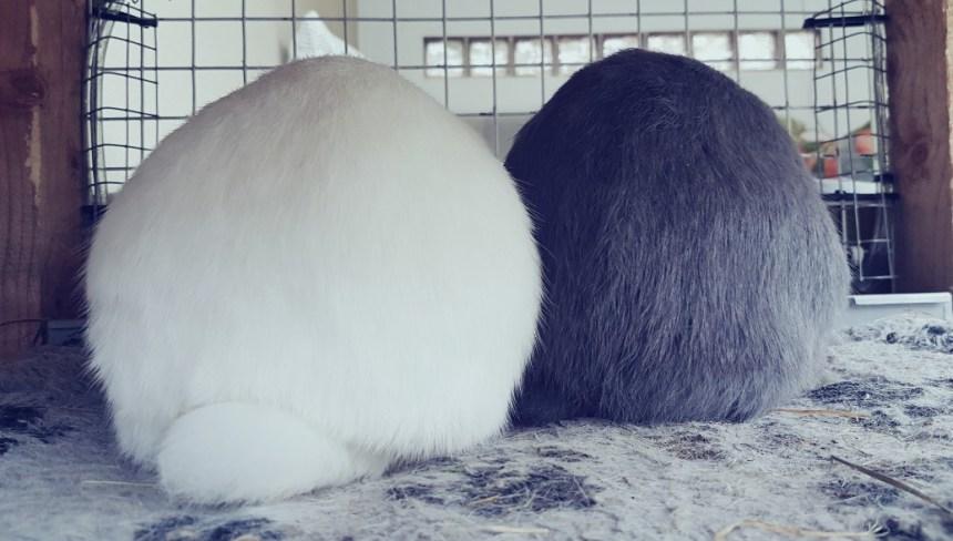 Twee konijnenbillen