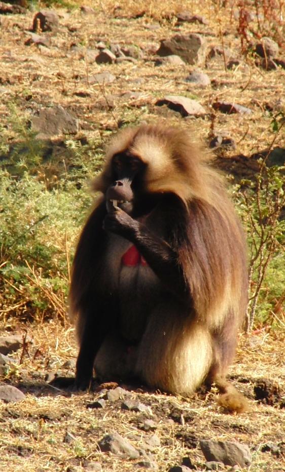 Gelada baviaan Ethiopië