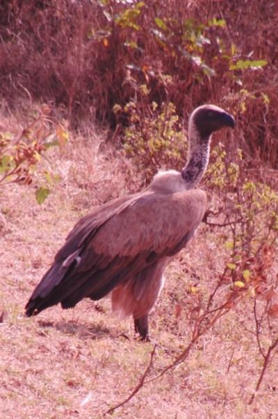 Ethiopië vale gier