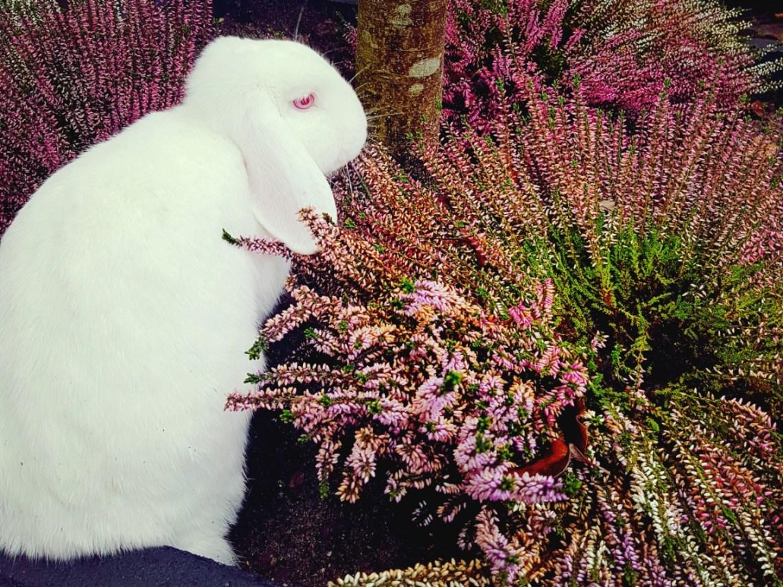 konijnen heide