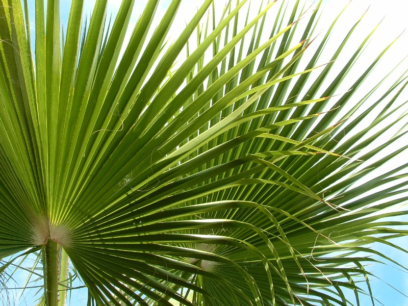 Gran Canaria palmbomen