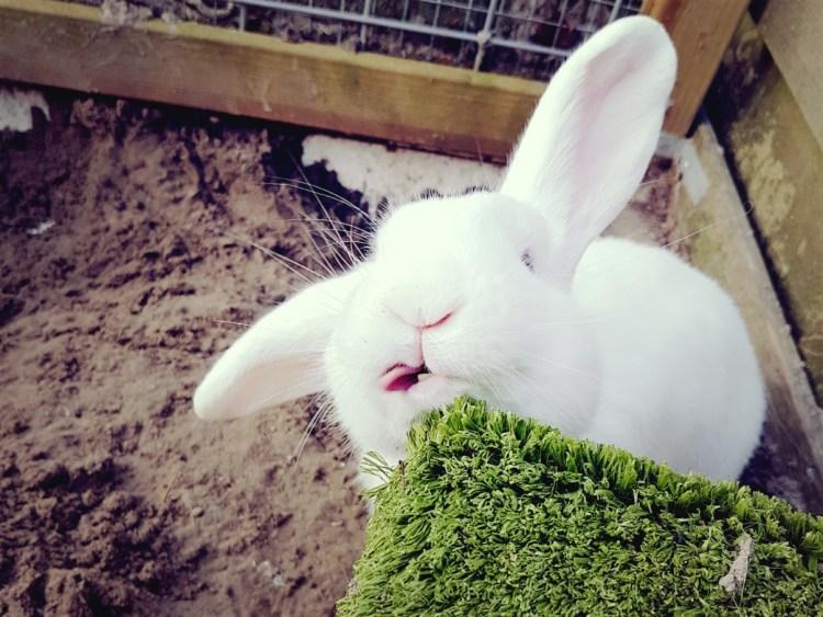 konijn tong wit