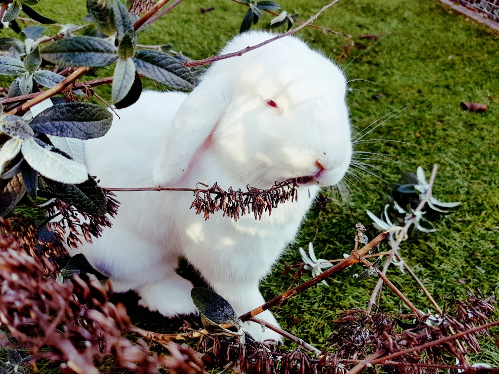 wit konijn eet van vlinderstruik