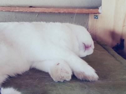 slapend albino konijn