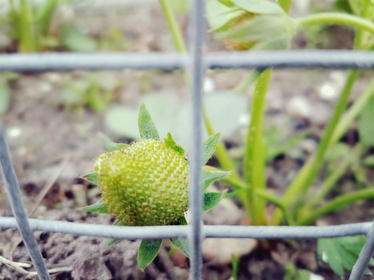 Groene aardbeien