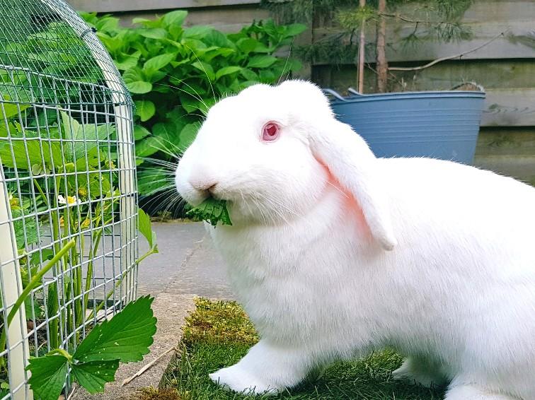 wit konijn eet aardbeienplant