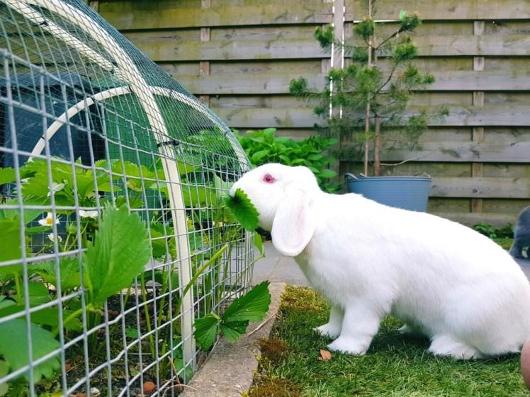 wit albino konijn eet aardbeienplant
