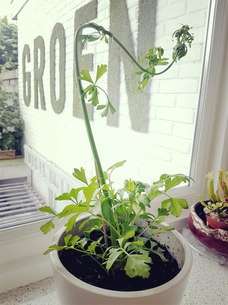 Thuis bleekselderij verbouwen