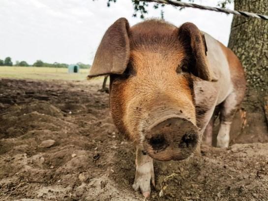 Biologische varkens met buitenuitloop