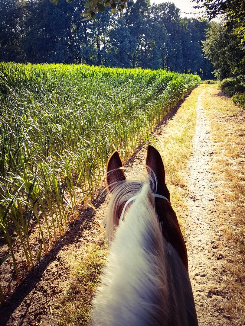 Maisvelden met bonte pony