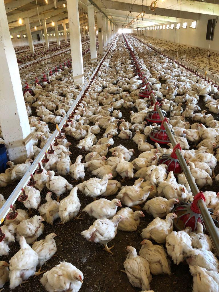 kipproductie vleeskuikens