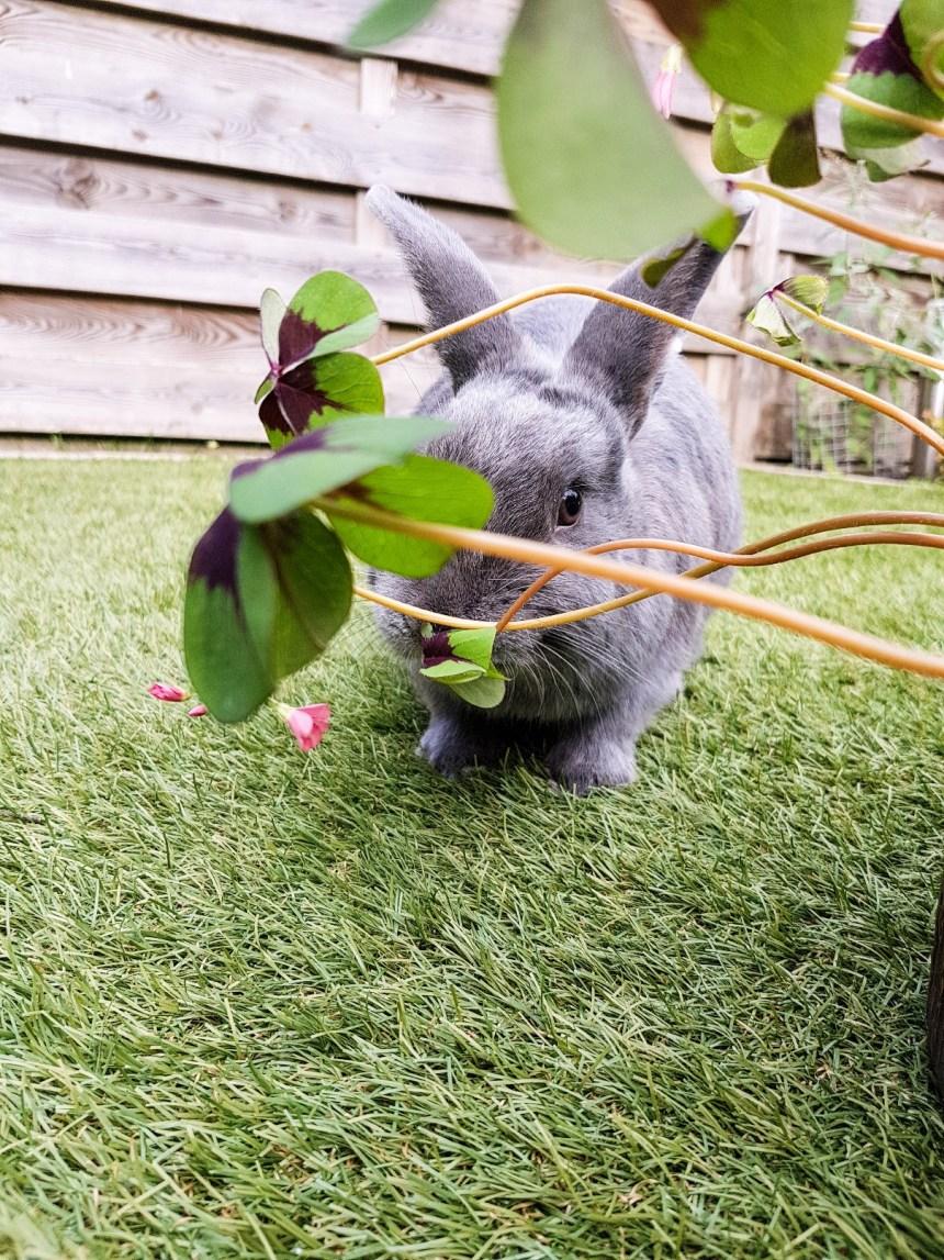 Grijs konijn eet klaver