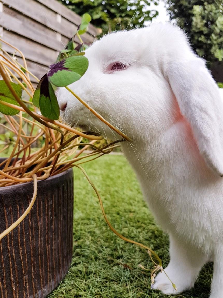 Albino konijn eet klaver