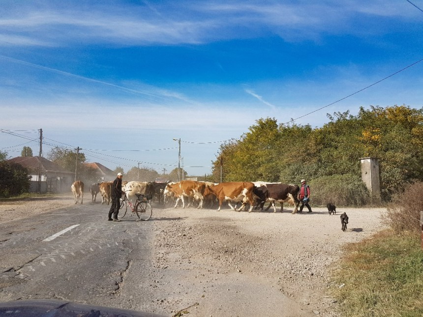 Koeien blokkeren weg in Roemenië