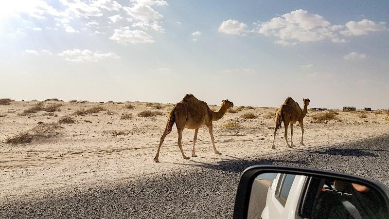 Dromedarissen Oman