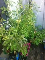 looks like I will have more tomatoes than I expected:) wygląda na to, że będzie więcej pomidorków niż się spodziewałam:)