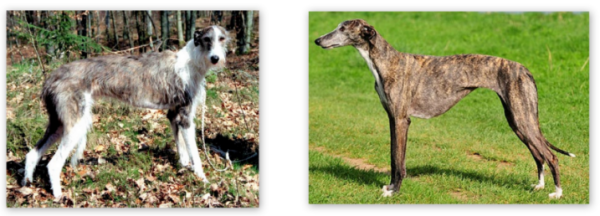 Wired and smooth haired Galgos