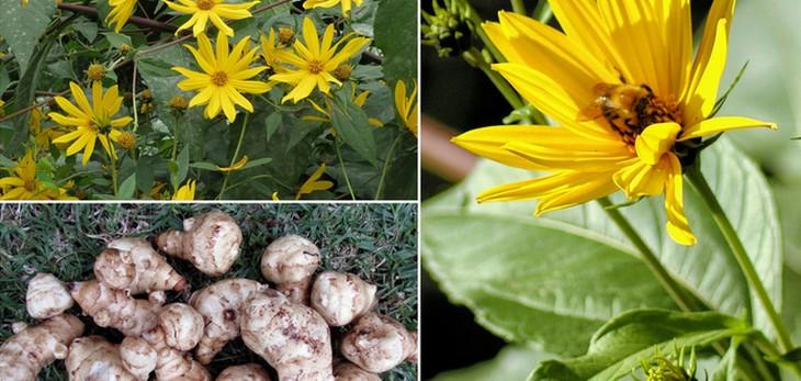 Topinambur – nieco zapomniana roślina o wielu korzystnych właściwościach