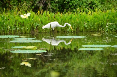 Hunting Reflection, Brazos Bend State Park, Texas