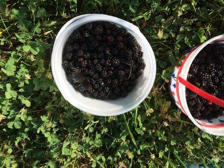 blackberry buckets butterfly