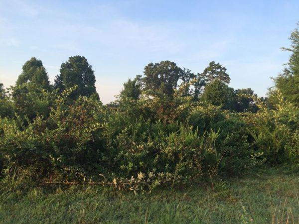 blackberry huge bush