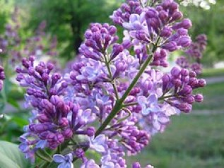 NOTHING lilac