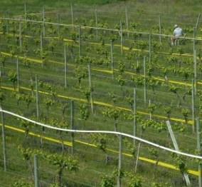 Summerhill vines